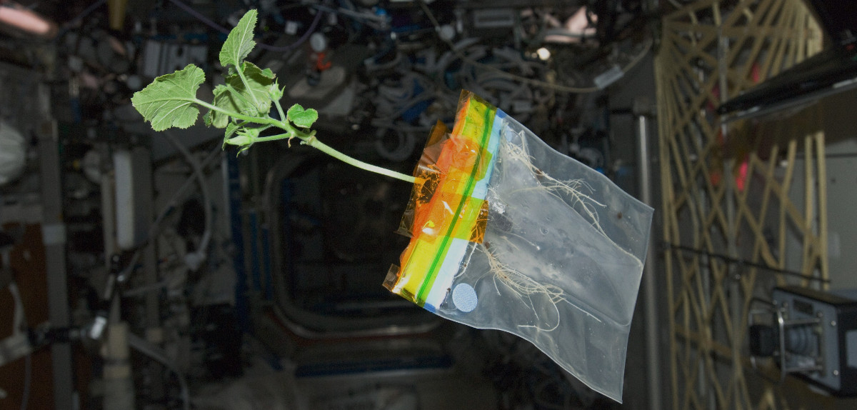 Don Pettit's space zucchini, grown in nothing but a ziplock bag and a few drops of water. If only it were so easy. Image credit: Don Pettit / NASA